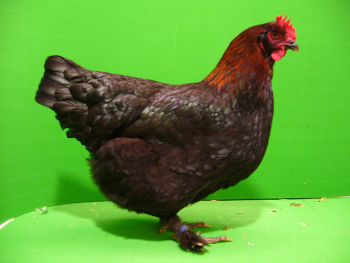 Hühner Schwarz